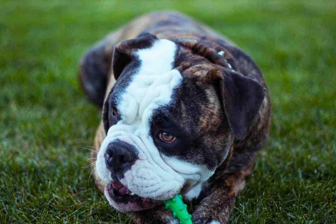Comment faire pour qu'un chien Boxer ne morde pas